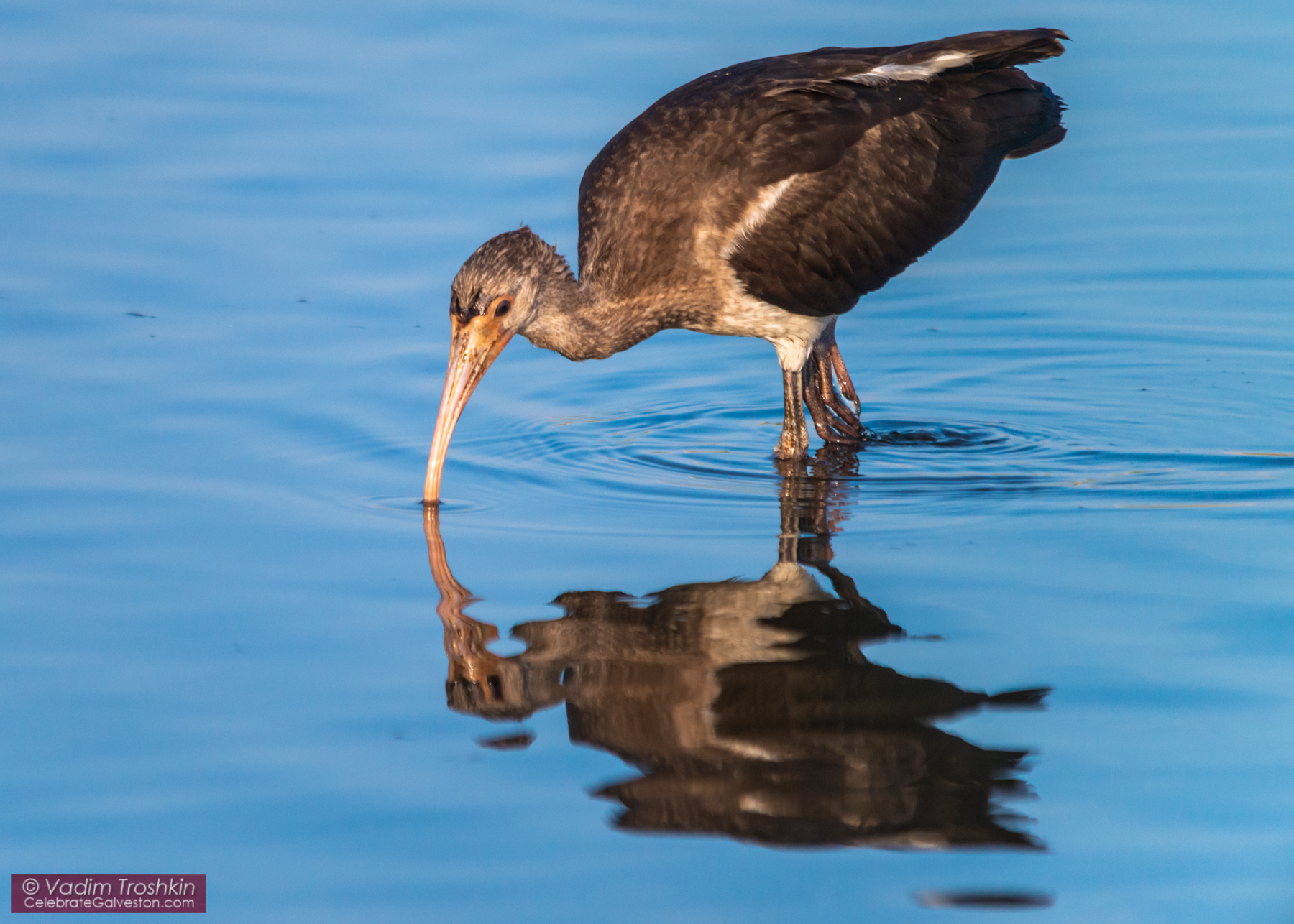 Young White Ibis
