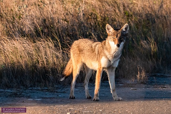 "Galveston ""coyote"" with Red wolf DNA"